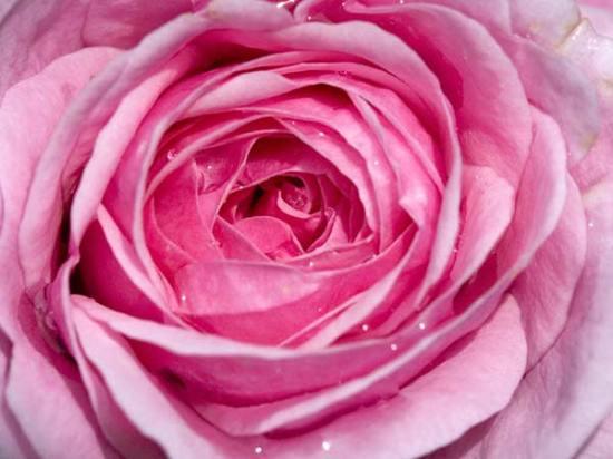 Pink-Rose-Flower-Wallpaper-3