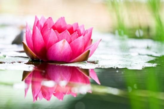lotus_flower-e1333652193870