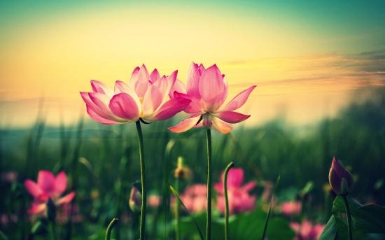 pink-lilies-hd-2880x1800