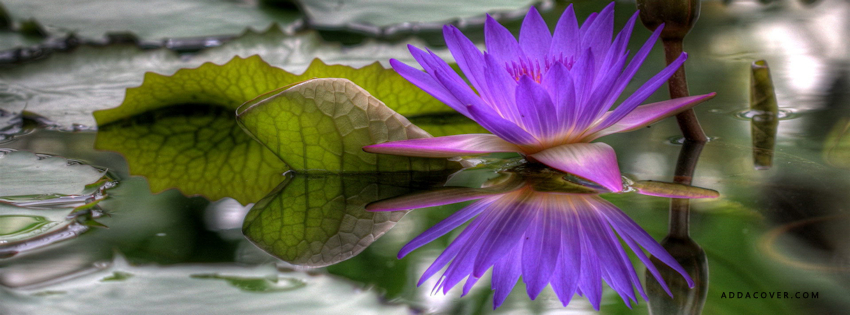 purple lotus facebook cover, Beautiful flower