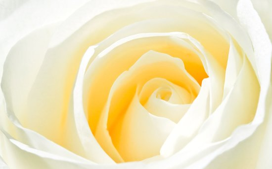 wallpaper-mswanson-rose-white-photography-scenery-today-flower-120003